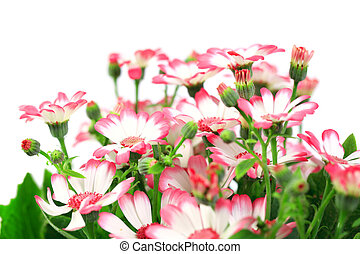 Beautiful flowers marguerites isolated on white background