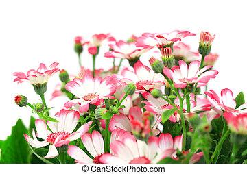 Beautiful flowers marguerites isolated on white background