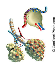 Pulmonar, Alveoli