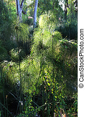 Cyperus papyrus Caine river - Cyperus papyrus, papyrus sedge...