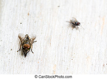 Horsefly and normal fly - Tabanus autumnalis, the large...