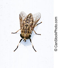 Horse fly close up - Tabanus autumnalis, the large marsh...