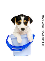 Jack Russell Terrier puppy in a blue bucket isolated on a...