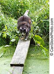 Fat cat crossing - Fat cat crosses a ditch over a small...
