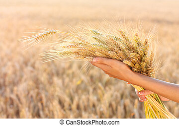 Ripe spikelets of wheat in woman hands in a wheat field -...