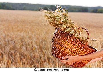 Basket full of ripe spikelets of wheat in woman hands -...