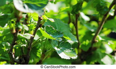 The leaves of black currant bushes