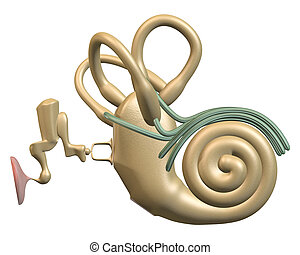 Inner ear front view - 3D rendering of the Inner ear front...