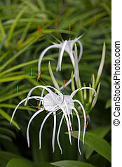 Spider Lily (amaryllidaceae)