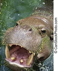 Small hippo        - Small hippo in the river