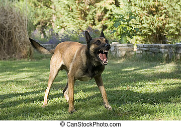 dangerous dog - picture of an aggressive purebred belgian...