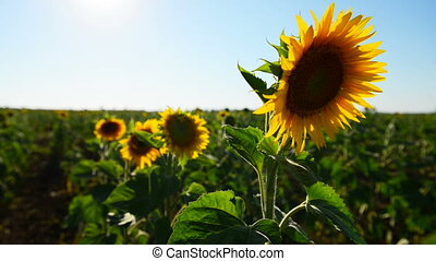 close view sunflowers