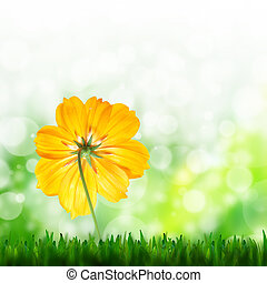 natural green background and yellow flower of cosmos