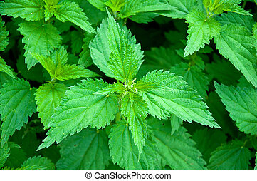 Stinging nettle - Green nettle field in spring