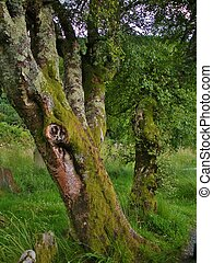 Moss on tree in Ireland - Moss on old mature trees in Irish...