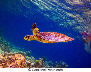 Hawksbill Turtle swiming like flying