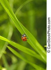 ladybird on grass - ladybird on green blade of grass close...