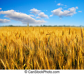 Wheat field with blue sky - Wheat field with clouds on blue...