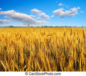 trigo, campo, azul, céu