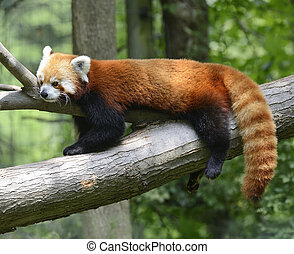 Red Panda Resting On A Tree