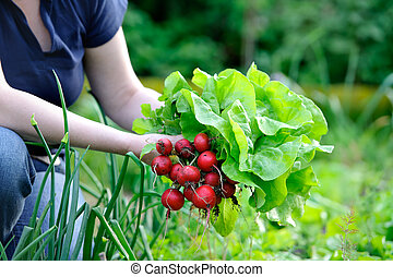 picking vegetables - woman picking fresh radish from her...