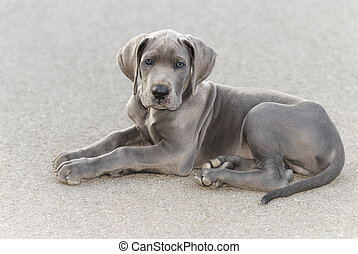 Great Dane puppy - Great Dane puppy, resting on the asphalt...