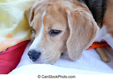 beagle - a young beagle  sleeping on her  pillow