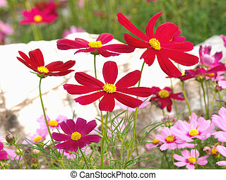 Red flower of cosmos