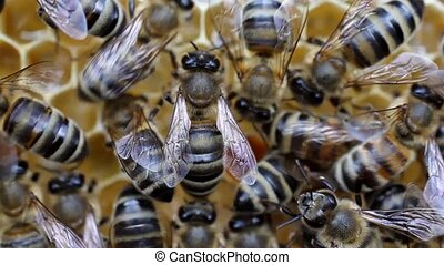 Work of the bees - Bees convert nectar in to honey In the...
