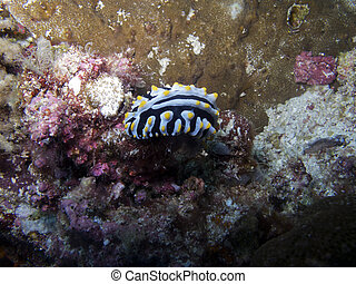 Nudibranch (Phyllidia varicosa) - Nudibranch on a coral....