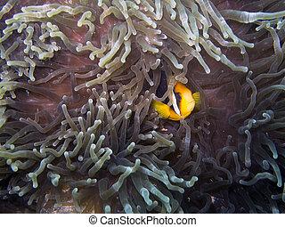 Clark's Anemonefish (Amphiprion clarkii) - A Clark's...