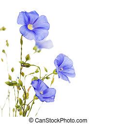 Beautiful flowers of flax isolated on white background