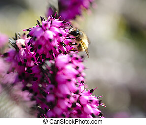 Bee on heather - Bee close up on heather Purple and white...