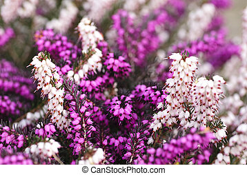 heather flowers - Different heather flowers close up flower...