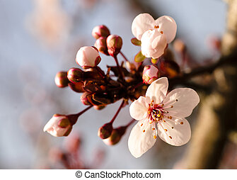 Asian plum blossom macro. Shallow deep of field. Focus on...