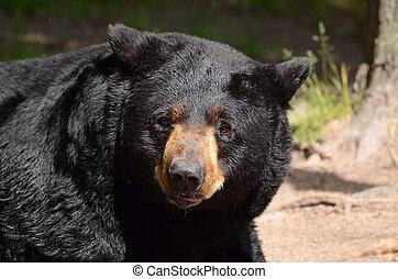amerykanka, czarnoskóry, Niedźwiedź, (Ursus,...