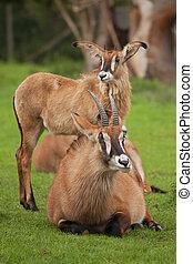 roan antelope - pair of roan antelope