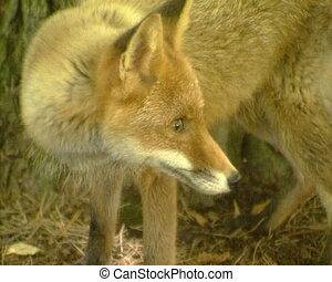 wild fox walk forest