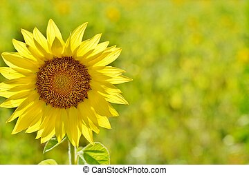 Sunflower in sunlight