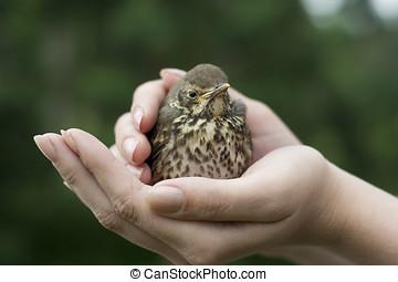 Baby bird sitting on hands - Fieldfare