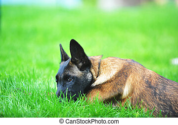 belgian malinois - dog, belgian malinois lies on grass