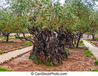 Jerusalem-Garden of Gethsemane - Olives Jerusalem-Garden of...