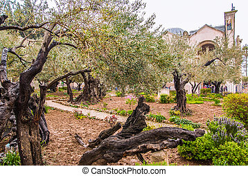 Jerusalem-Garden of Gethsemane - Olives Jerusalem-Garden of...