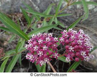 Swamp Milkweed - Blooming swamp milkweed