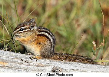 Least Chipmunk (Tamias minimus) on a log in Yellowstone Park