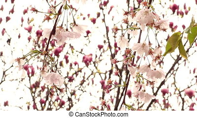 Blossom cherry tree - Blossom cherry tree blowing in the...