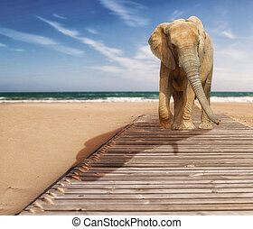 Young elephant - Young Elephant walking at the beach