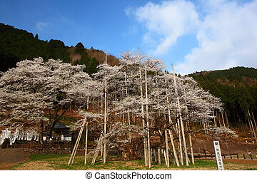 Japanese cherry tree - A 1500 year old Usuzumizakura...