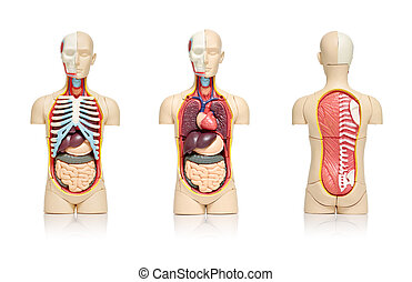 Human organs - Three views of a model of human body showing...
