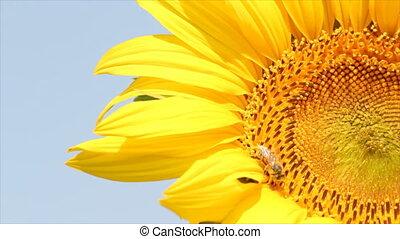 bee on sunflower summer scene